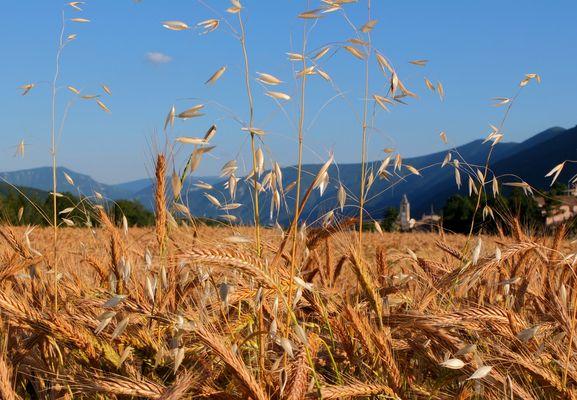 Un clocher dans les blés
