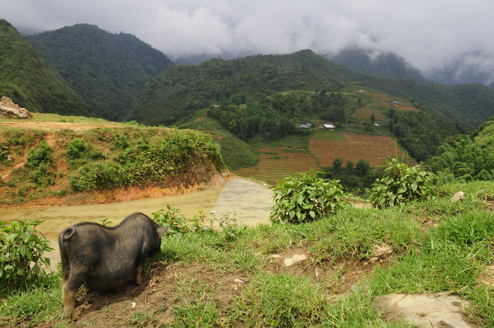 un cochon à Sapa