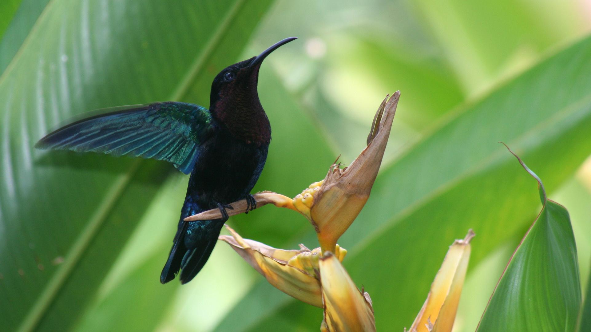 un colibri au paradis !