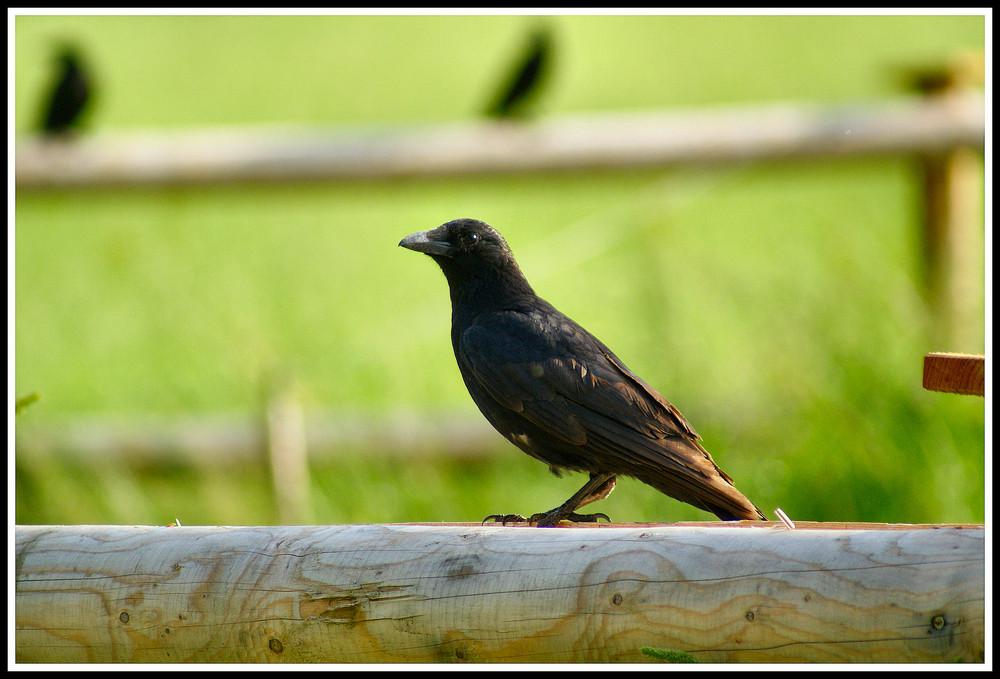 Un Corvo ( quelli dietro non contano )