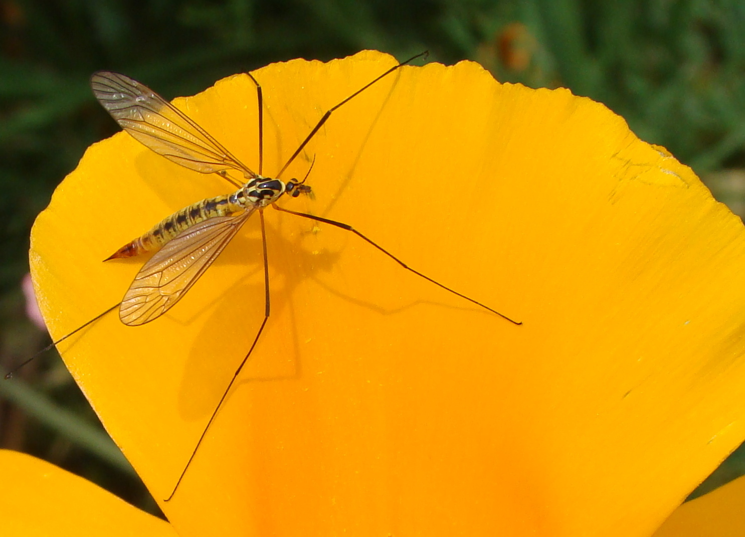 Un cousin qui déguste du nectar...