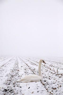 Un cygne en hiver
