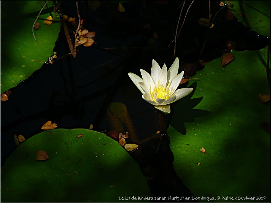 Un éclat de lumière dans l'ombre du Marigot...