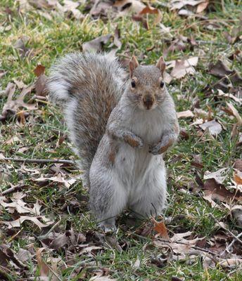 Un écureuil à dos gris