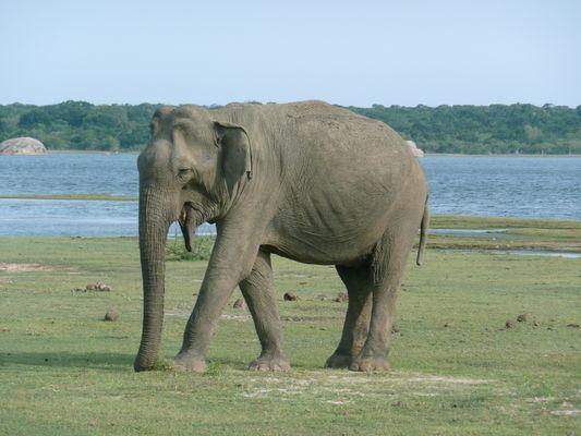 Un éléphant dans le parc national de Yala