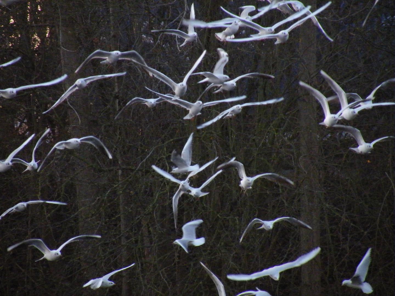 un envol de mouettes au lac du héron