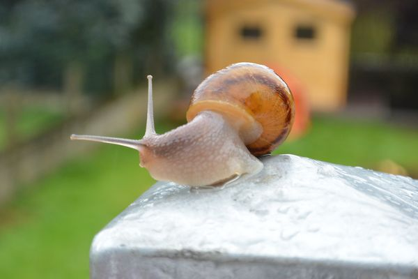 Un escargot sous la pluie