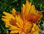 Un fiore sta sbocciando
