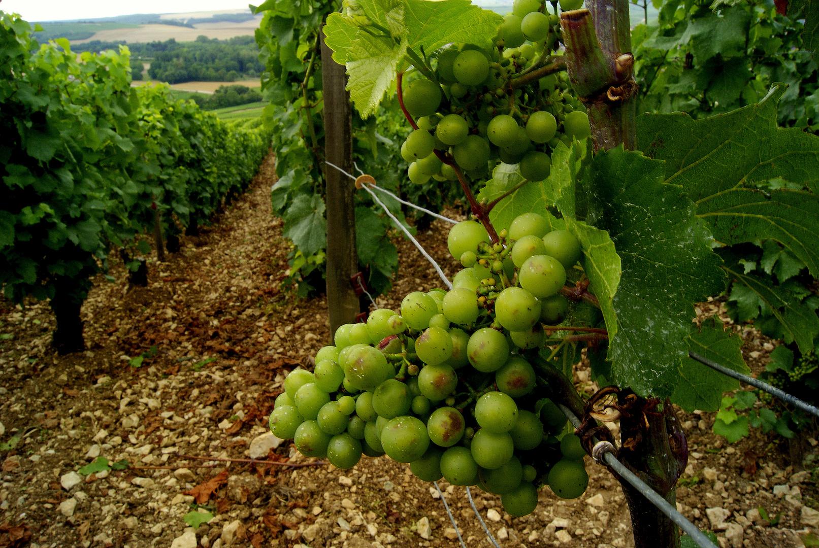 un futur grand cru, domaine du Chablis (Yonne)