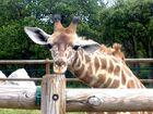 Un Girafon