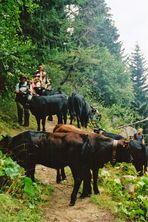 un groupe perdu parmi les vaches!!!