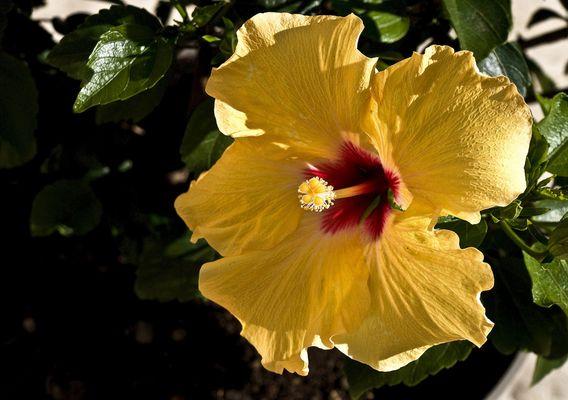 Un hibiscus tout simplement  --  Eine einfache Hibiskusblüte