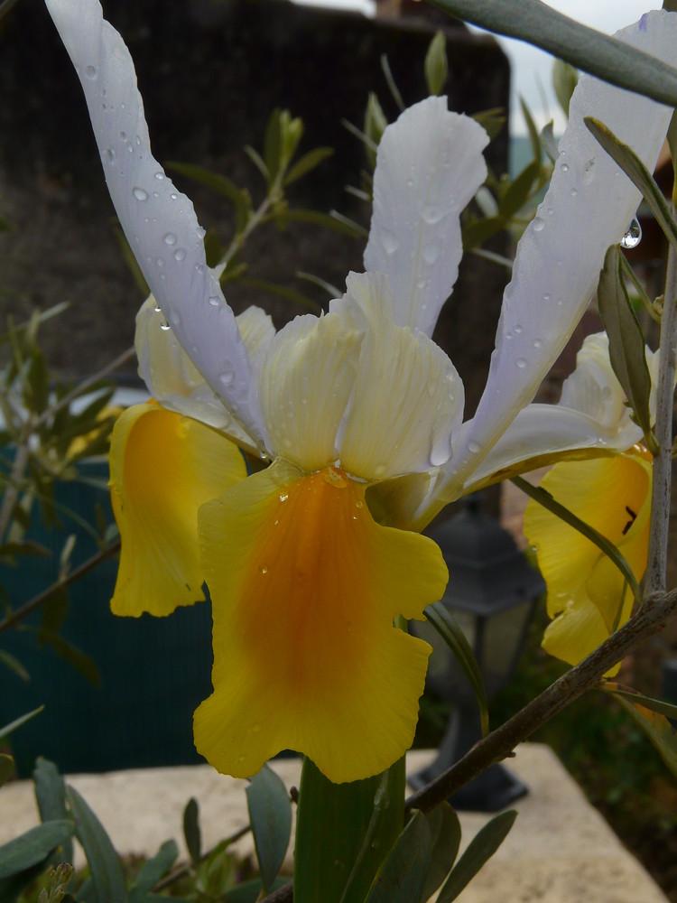 un iris avec la rosée du matin