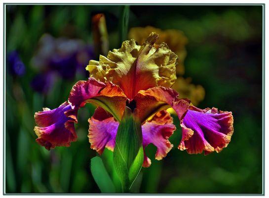 un iris d exception....