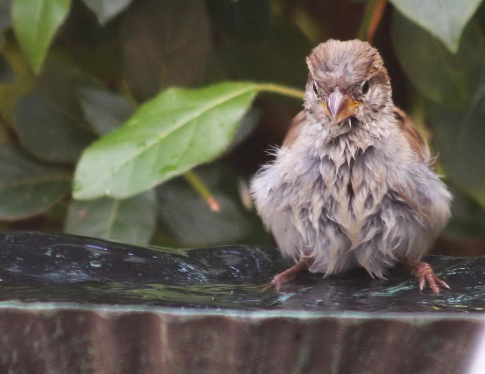 Un jeune moineau qui se prépare au bain