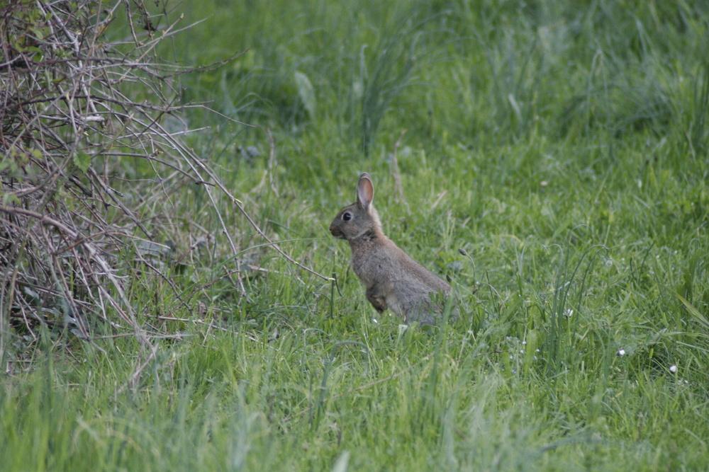 un lapin près de chez moi.