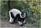un Lemurien
