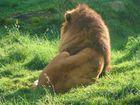 Un lion au soleil