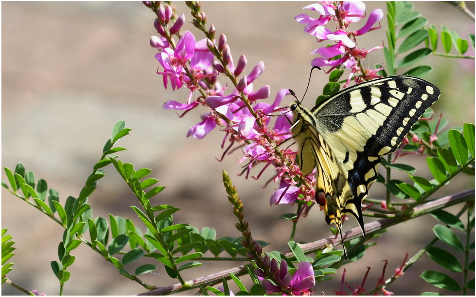 Un machaon, à mon tour