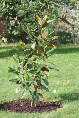 un magnolia pour gaston