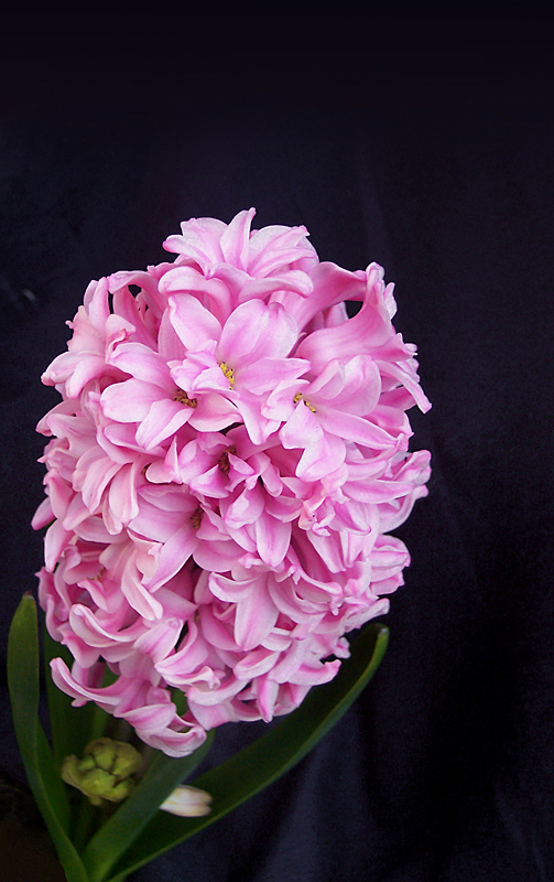 .....un mio rosa giacinto.....