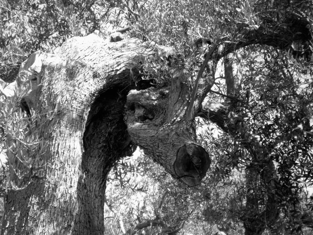 Un olivier de 18 siècle - Sur les collines de la ville de Vlora (Albanie)