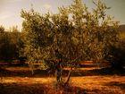 un olivier ensommeillé