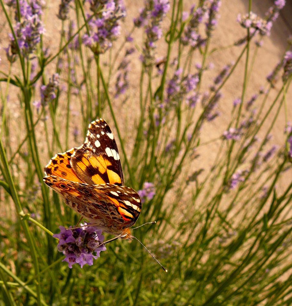 Un papillion commun..