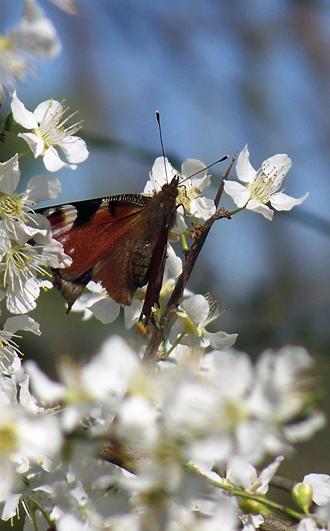 un papillon (2) ...