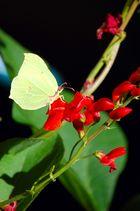 Un papillon à peine visible