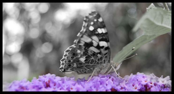 Un papillon dans mon jardin...