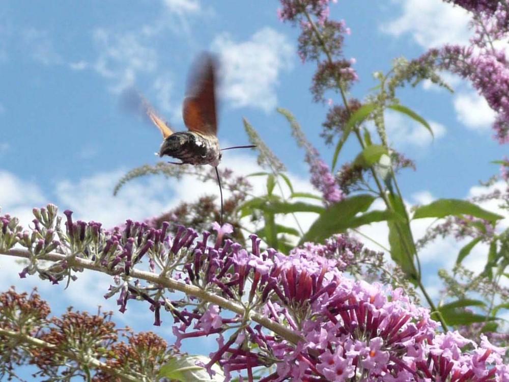 un papillon sphynx-colibri