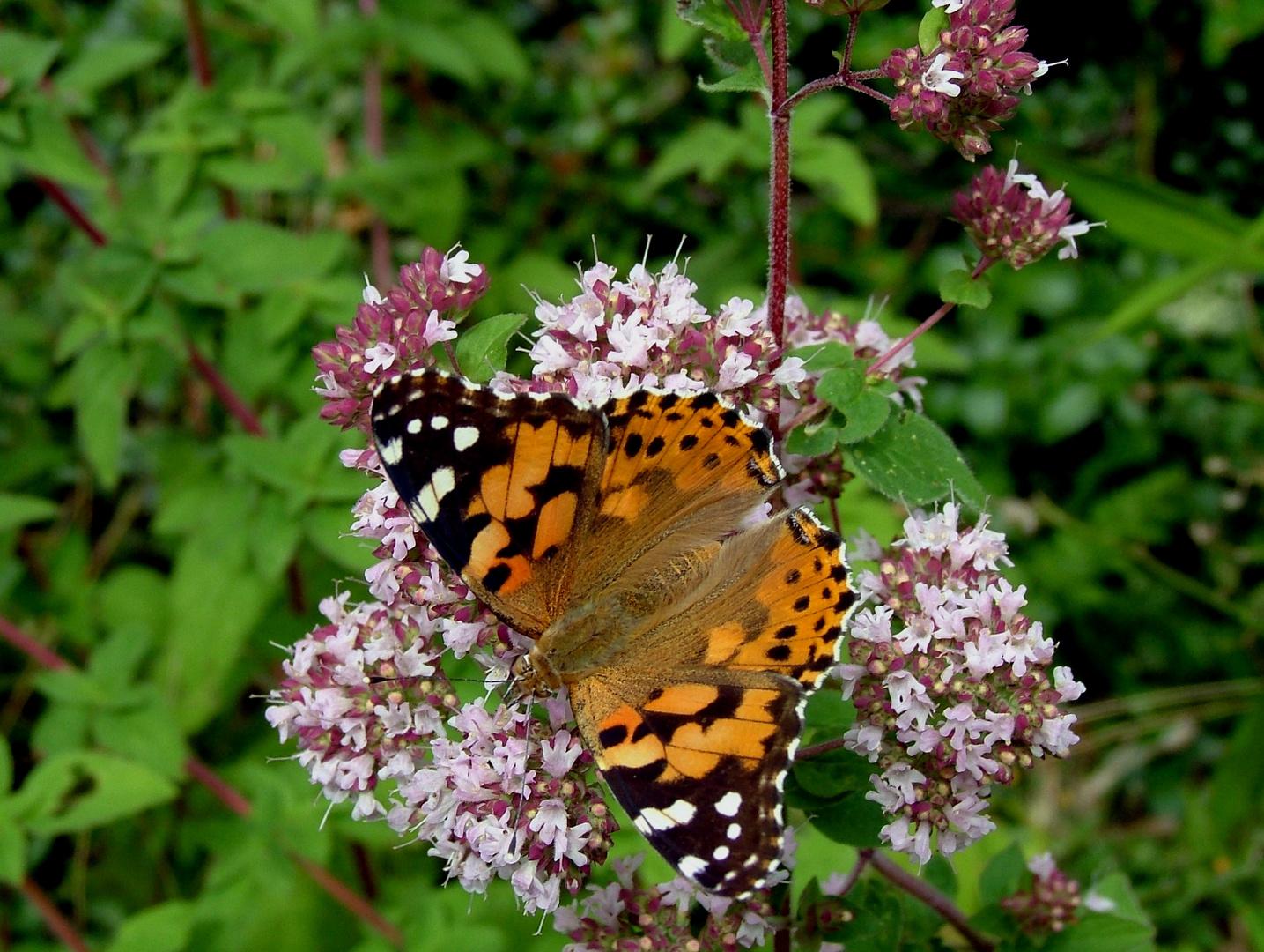 un papillon sur l'origan !