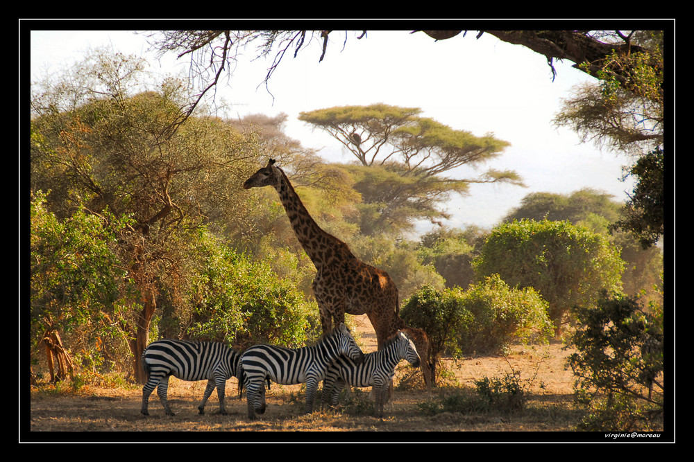 Un paradis à Amboseli