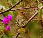 Un passerifòrme senegalese