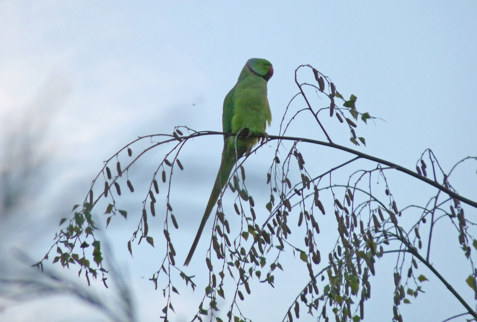 Un perroquet en liberté (Perruche à collier)