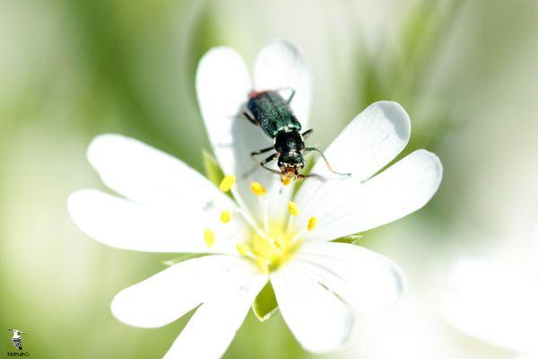 Un petit encas - Malachius bipustulatus