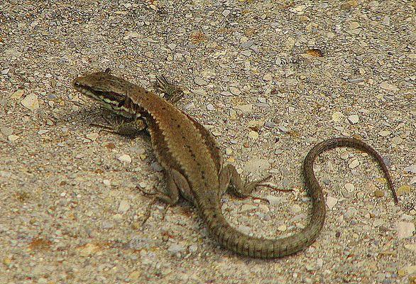 Un petit reptile au soleil