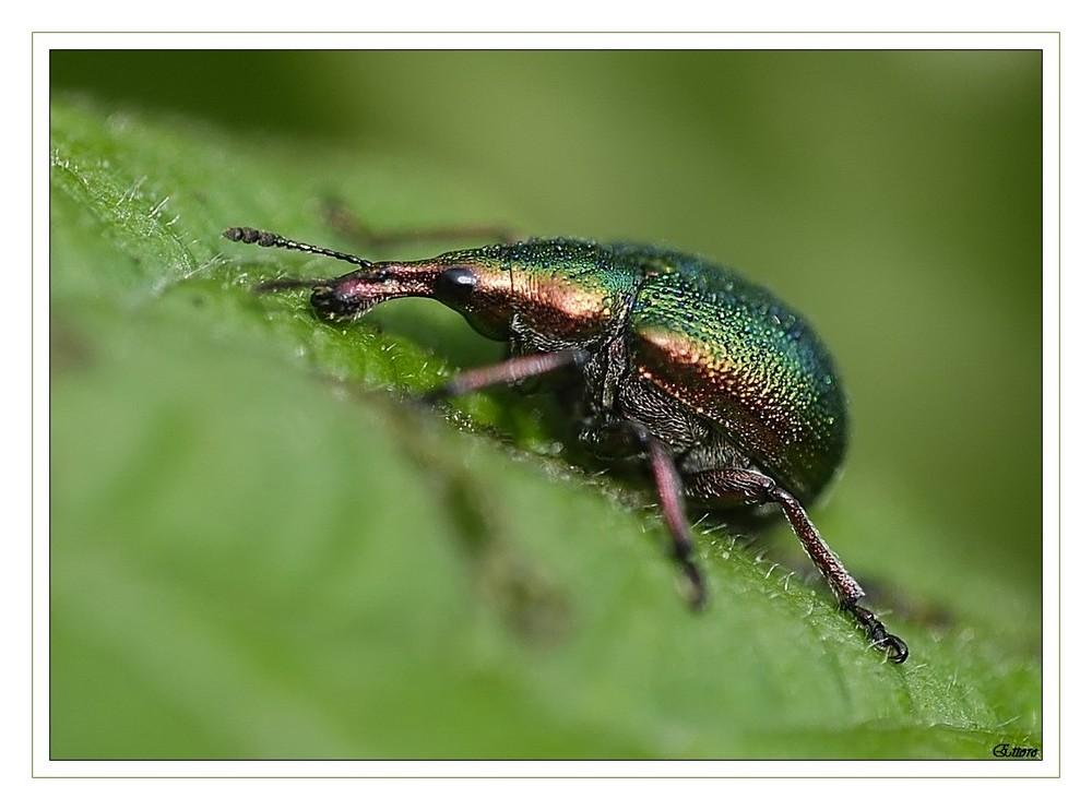 Un piccolo curculionidae