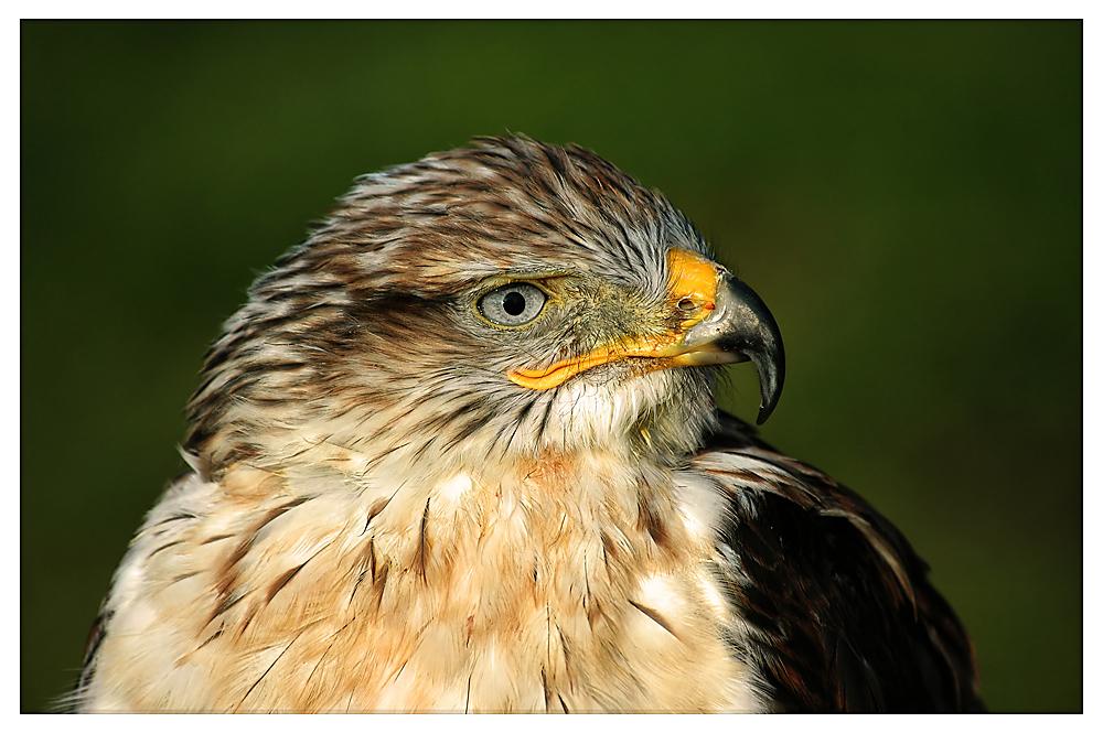 Un piccolo ritratto di un Falco