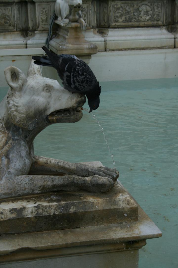 Un pigeon a Sienne merveilleuse Toscane