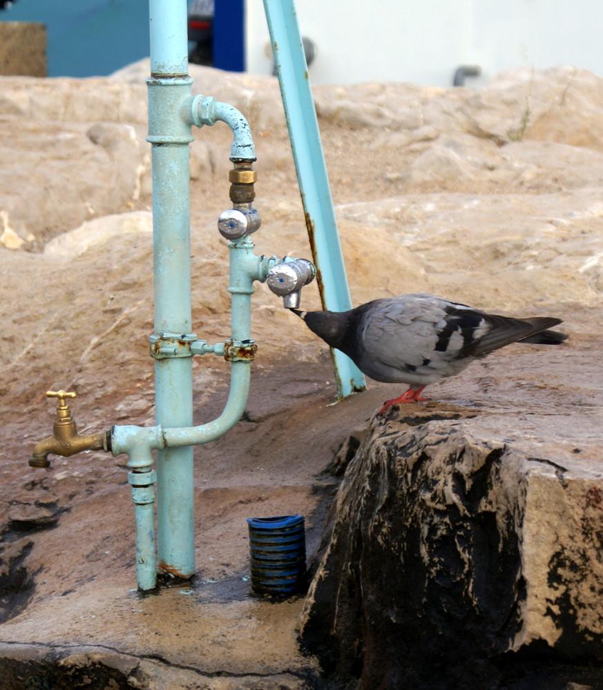Un pigeon assoiffé