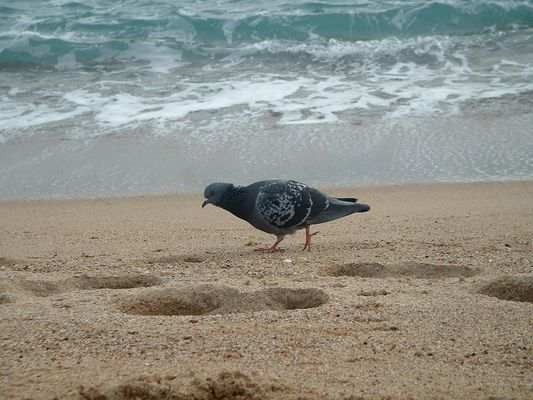 un pigeon parisien en vacance à cannes pour le festival
