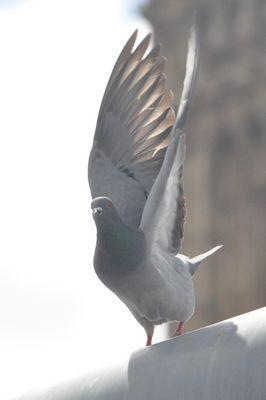 Un pigeon prend son envol