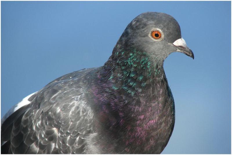 Un pigeon roucoulait si près !