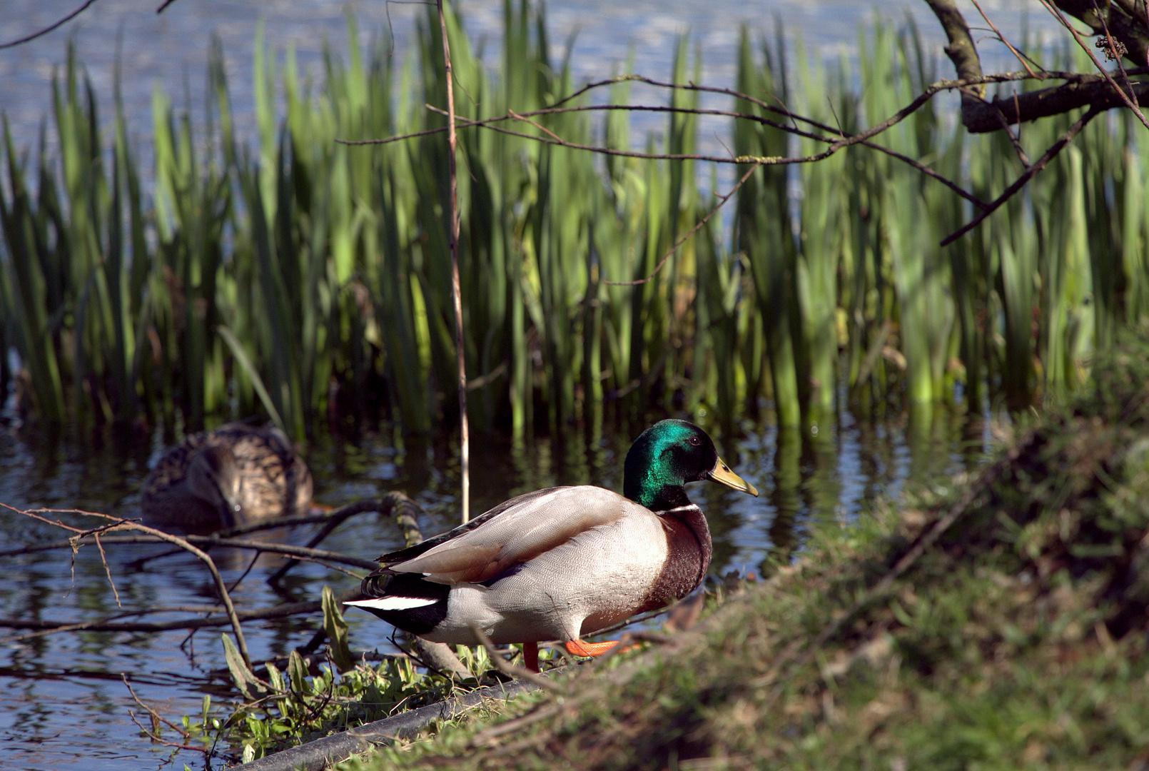 un p'tit canard au bord de l'eau ...