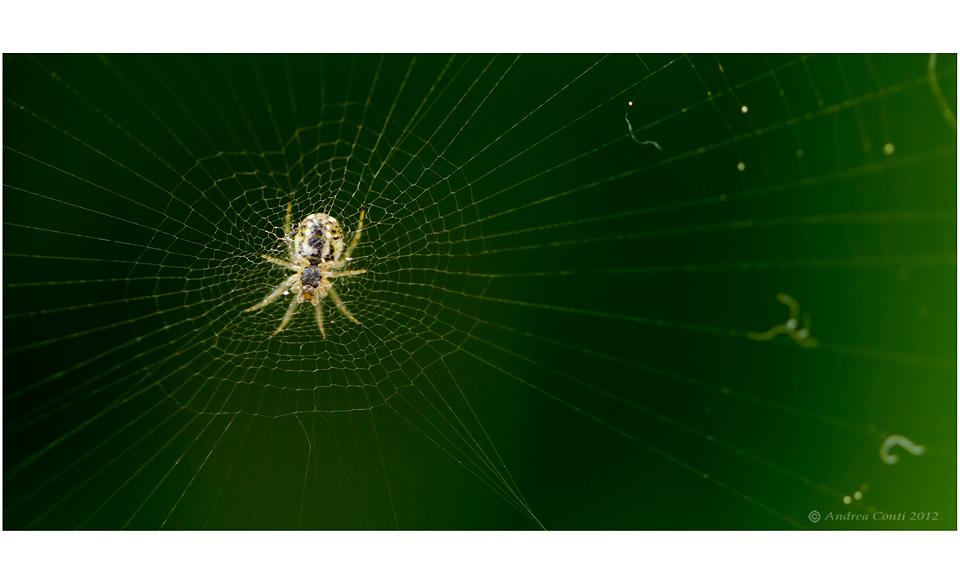 un ragno e la sua tela