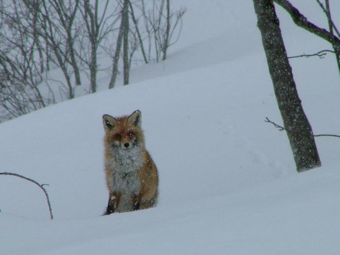 Un renard curieux - Vallée du Nant Brun - Savoie