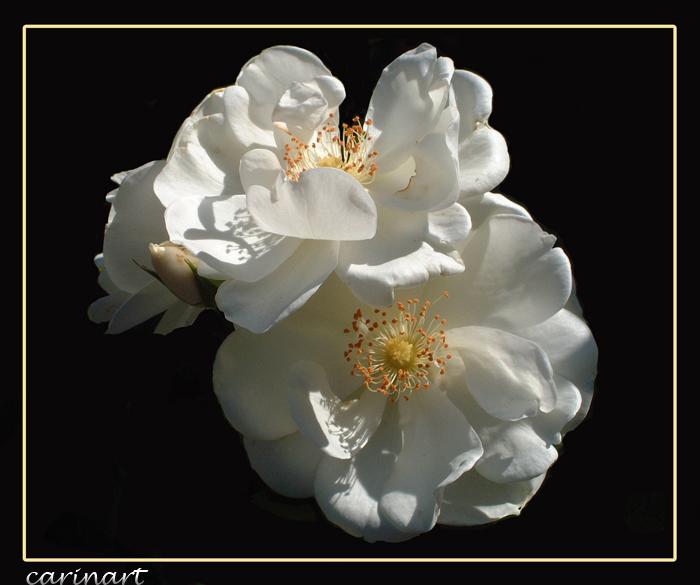 Un rêve de roses blanches