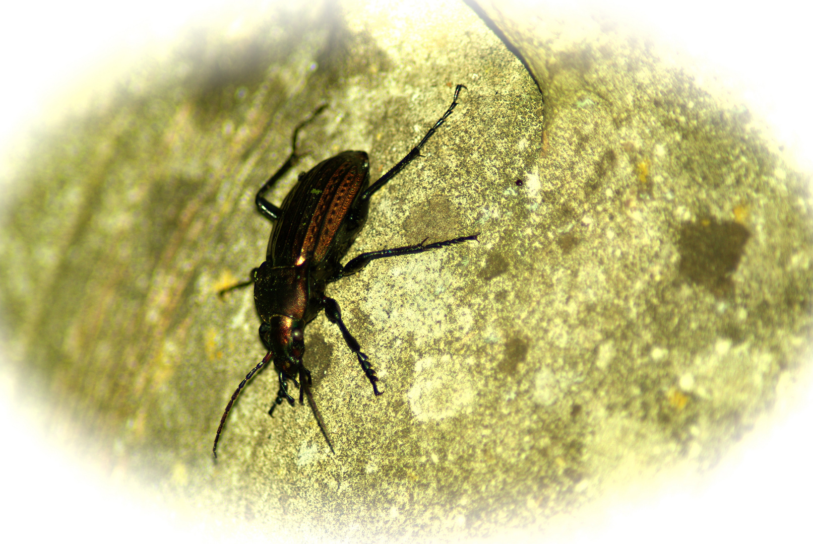 un scarabée